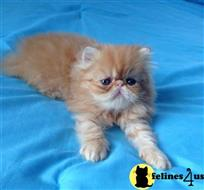 persian kitten posted by Ivy Cat 179