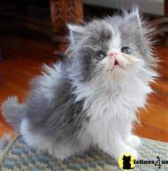 himalayan kitten posted by Pennys Persians