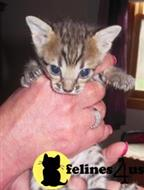 savannah kitten posted by dalecuddy