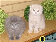 scottish fold kitten posted by doggydogworld12