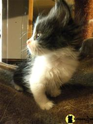siberian kitten posted by ColdSpring Siberians