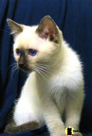 siamese kitten posted by kylieblue