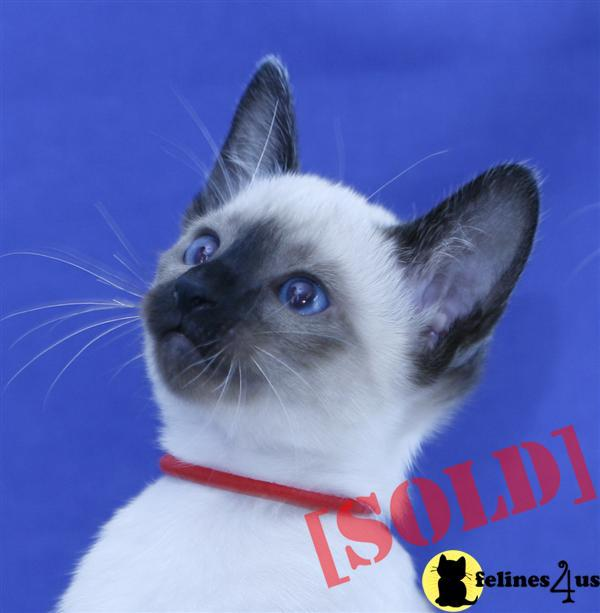Carolina Blues Cattery Seal Point Siamese Kittens for Sale in North Carolina NC