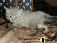siberian kitten posted by landmark
