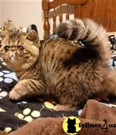 exotic shorthair kitten posted by drbeth