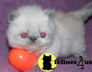 Kittens for Sale in West Virginia
