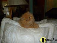 persian kitten posted by pattyshortcake21