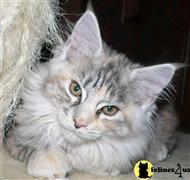 maine coon cat posted by florinredberet
