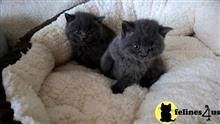 british shorthair cat posted by malvina