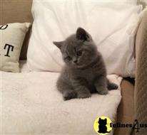 british shorthair kitten posted by malvina