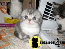 scottish fold kitten posted by malvina