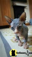 sphynx kitten posted by malvina