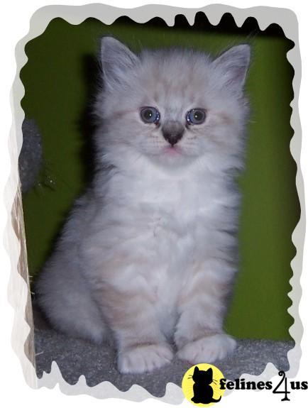 IL USA, Ragdoll Kittens
