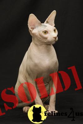 Sphynx Cats For Sale In Washington State