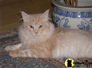 maine coon cat posted by SK