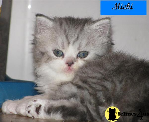 Persian Cat Rescue Maryland