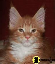 maine coon kitten posted by darrem