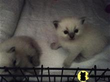 ragdoll kitten posted by Ragdollkittycats@aol.com