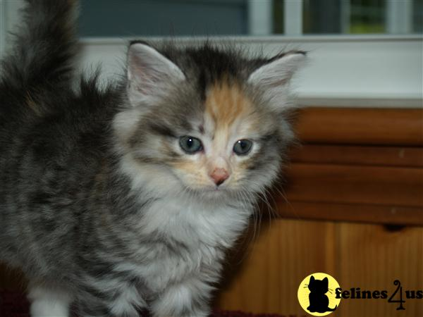 Kittens for Sale in Maine