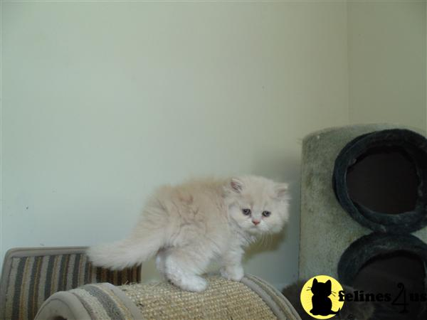 Persian Cats For Sale In Myrtle Beach