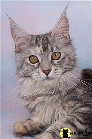 maine coon kitten posted by chris246