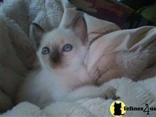 siamese kitten posted by siamese_colorpoints