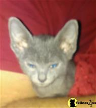 korat kitten posted by starcurl