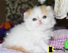 persian kitten posted by Barb Turvold