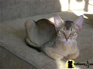 abyssinian kitten posted by riemarkable