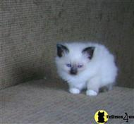 birman kitten posted by riemarkable