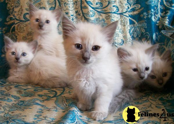 CANADA, Balinese Kittens