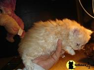 selkirk rex kitten posted by clgray100