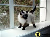 siamese kitten posted by Rosaline  B.