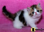 exotic shorthair kitten posted by Rosaline  B.