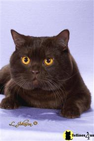 british shorthair stud posted by buckeyecats