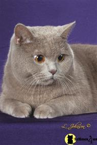 british shorthair cat posted by buckeyecats