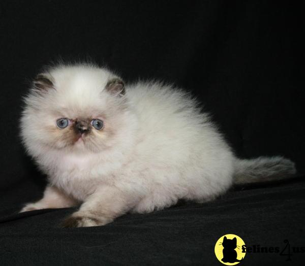 Himalayan Kittens in Pennsylvania