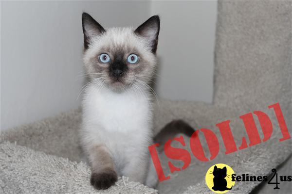 ragamese kittens for sale