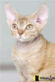 devon rex kitten posted by archicats