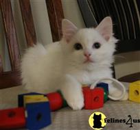 ragdoll kitten posted by Geneva