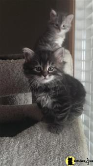 siberian kitten posted by lakepaws