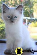 ragdoll kitten posted by vlad0422