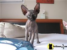 sphynx kitten posted by vlad0422