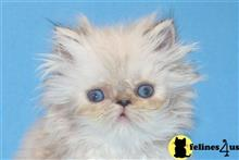 himalayan kitten posted by InThePinkPersians