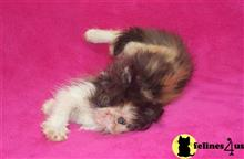 persian kitten posted by InThePinkPersians
