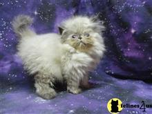 himalayan kitten posted by benlynn