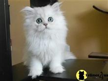 persian kitten posted by kelskits