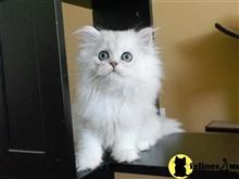 persian cat posted by kelskits