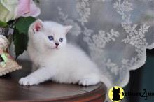 british shorthair kitten posted by lbcattery