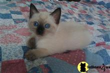 siamese kitten posted by Tai Khon